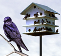 Bird X Songbird Magnet can encourage the presence of Purple Martins