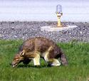 3D Coyote for Airport Bird Deterrent