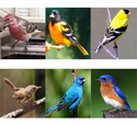 Bird X Songbird Magnet Can Attract These Birds